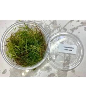 Vesicularia ubyana (80ml)