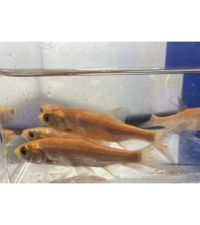 Säyne - Leuciscus idus orfus