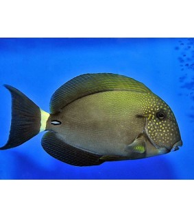 Acanthurus maculiceps - Freckle Face Tang