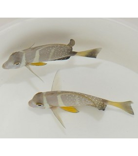 Acanthurus guttatus , Jewel Tang