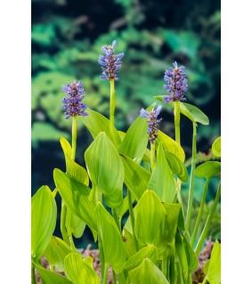 Herttasoikko - Pontederia cordata