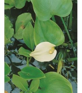 Suovehka - Calla palustris