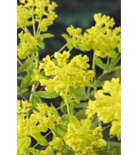 Rantatyräkki - Euphorbia palustris