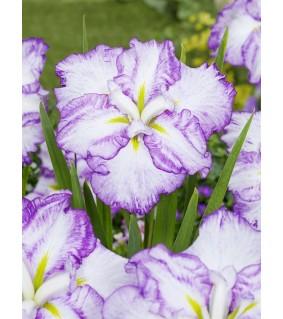 Japaninkurjenmiekka - Iris ensata Dinner Plate Tiramisu