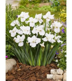 Siperiankurjenmiekka - Iris sibirica Not Quite White