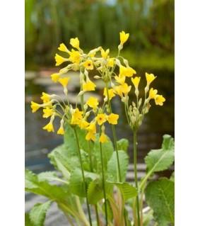Kesäesikko - Primula florindae