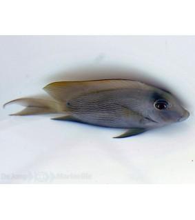 Ctenochaetus striatus - Sinijuovavälskäri