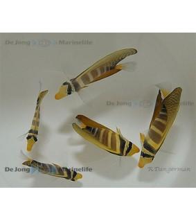 Zebrasoma veliferum - Purjevälskäri