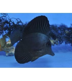 Zebrasoma rostratum , Black Longnose Sailfin Tang