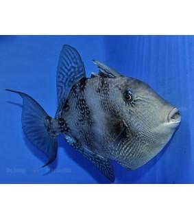 Balistes capriscus - Caribbean Grey Trigger