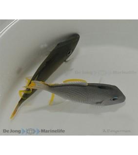 Xanthichthys auromarginatus , Sinileukaäppikala , koiras