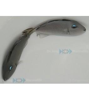 Xanthichthys auromarginatus , Sinileukasäppikala , naaras