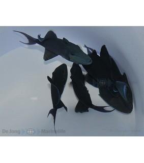 Odonus niger , Sinisäppikala