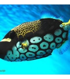 Balistoides conspicillum - Pantterisäppikala