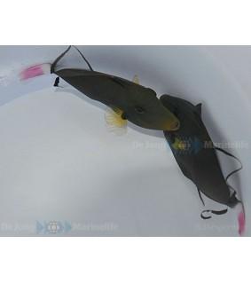 Melichthys vidua , Pinktail Trigger