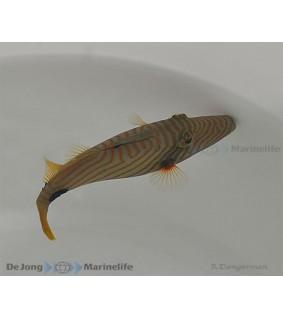 Balistapus undulatus , Undulatus Trigger
