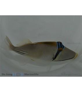 Rhinecanthus assasi - Red Sea Trigger