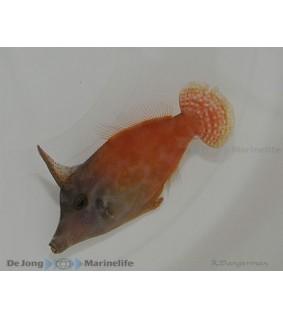 Pervagor melanosoma , Flame Filefish