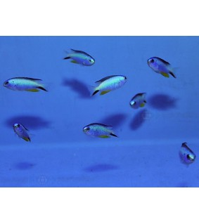 Pomacentrus alleni - Blue Star Damsel