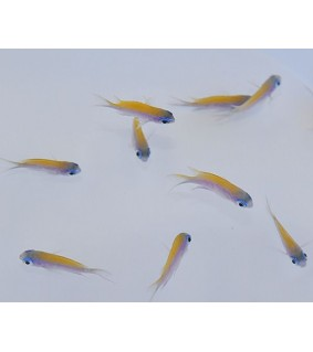 Chromis insolata , Caribbean sunset chromis