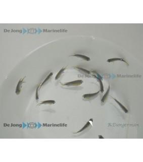 Chromis vanderbilti - Vanderbilt's chromis