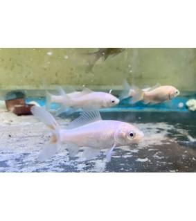 Kultakala valkoinen - Carassius auratus white