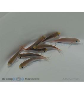 Chromis acares - Pygmy chromis