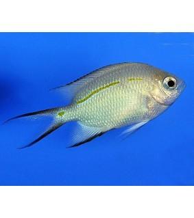 Acanthochromis polyacanthus - Haaraneitokala