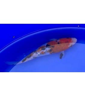 Koikarppi 15-20cm