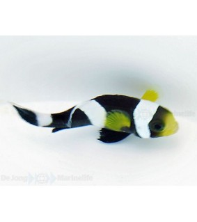 Amphiprion polymnus , Satulavuokkokala