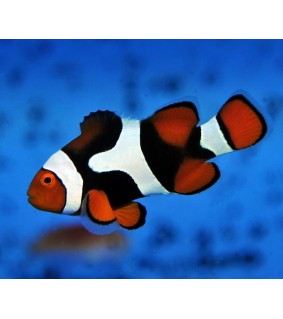 Amphiprion percula , Super Black pariskunta