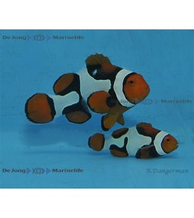 Amphiprion percula , Snow White pariskunta
