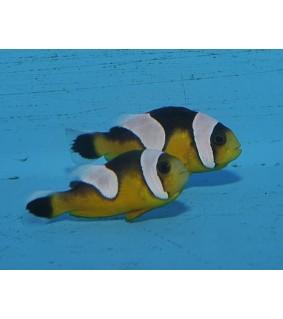 Amphiprion polymnus , satulavuokkokala keltainen, viljlety