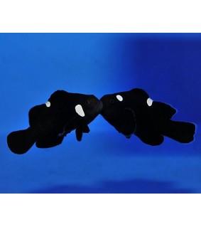 Amphiprion ocellaris , Vuokkokala Domino pariskunta