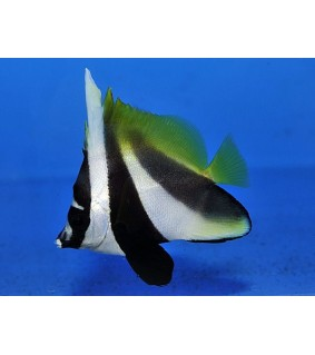 Heniochus monoceros - Naamioviirikala