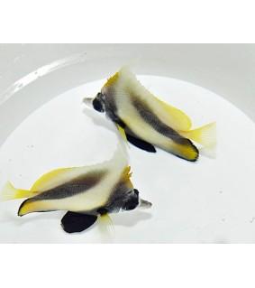 Heniochus intermedius - Keltaviirikala