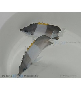 Hemitaurichthys zoster - Lakritsiperhokala