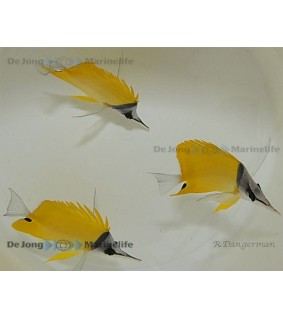 Forcipiger flavissimus - Keltapinsettikala