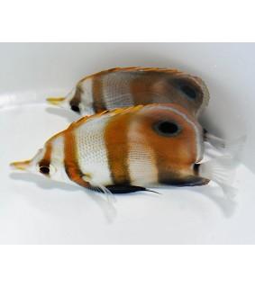 Chelmon muelleri - Seeprapinsettikala