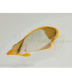 Chaetodon xanthocephalus , Kultasuuperhokala
