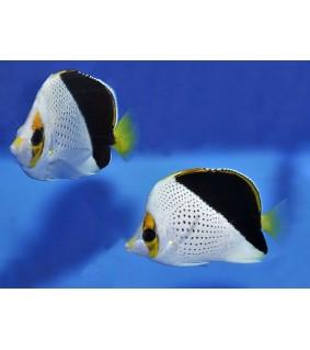 Chaetodon tinkeri - Viittaperhokala