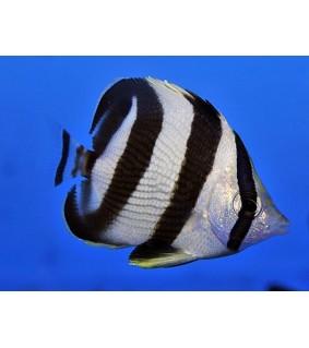 Chaetodon striatus , Vanneperhokala