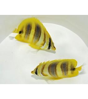 Chaetodon rainfordi - Aurinkoperhokala