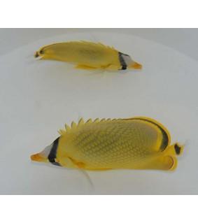 Chaetodon rafflesii - Kennoperhokala