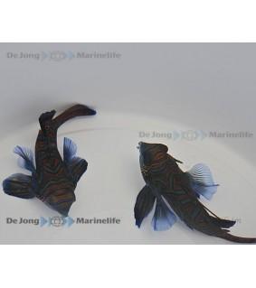 Synchiropus splendidus - mandariinikala