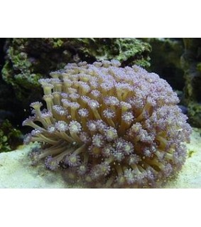 Goniopora sp. (blue/purple polyp)