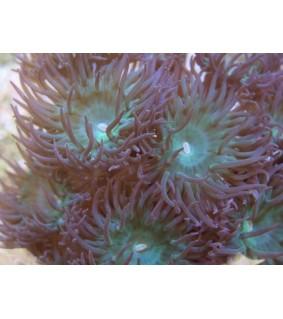 Duncanopsammia axifuga (7 polyps)