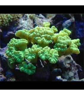 Caulastrea curvata (green)