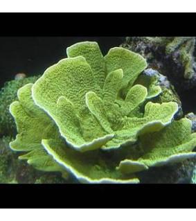 Montipora sp. (laminar green)