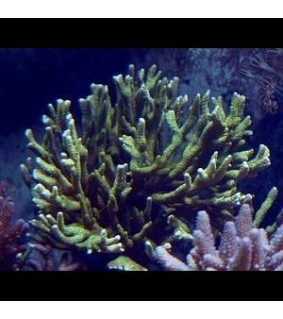 Montipora sp. (branched green)